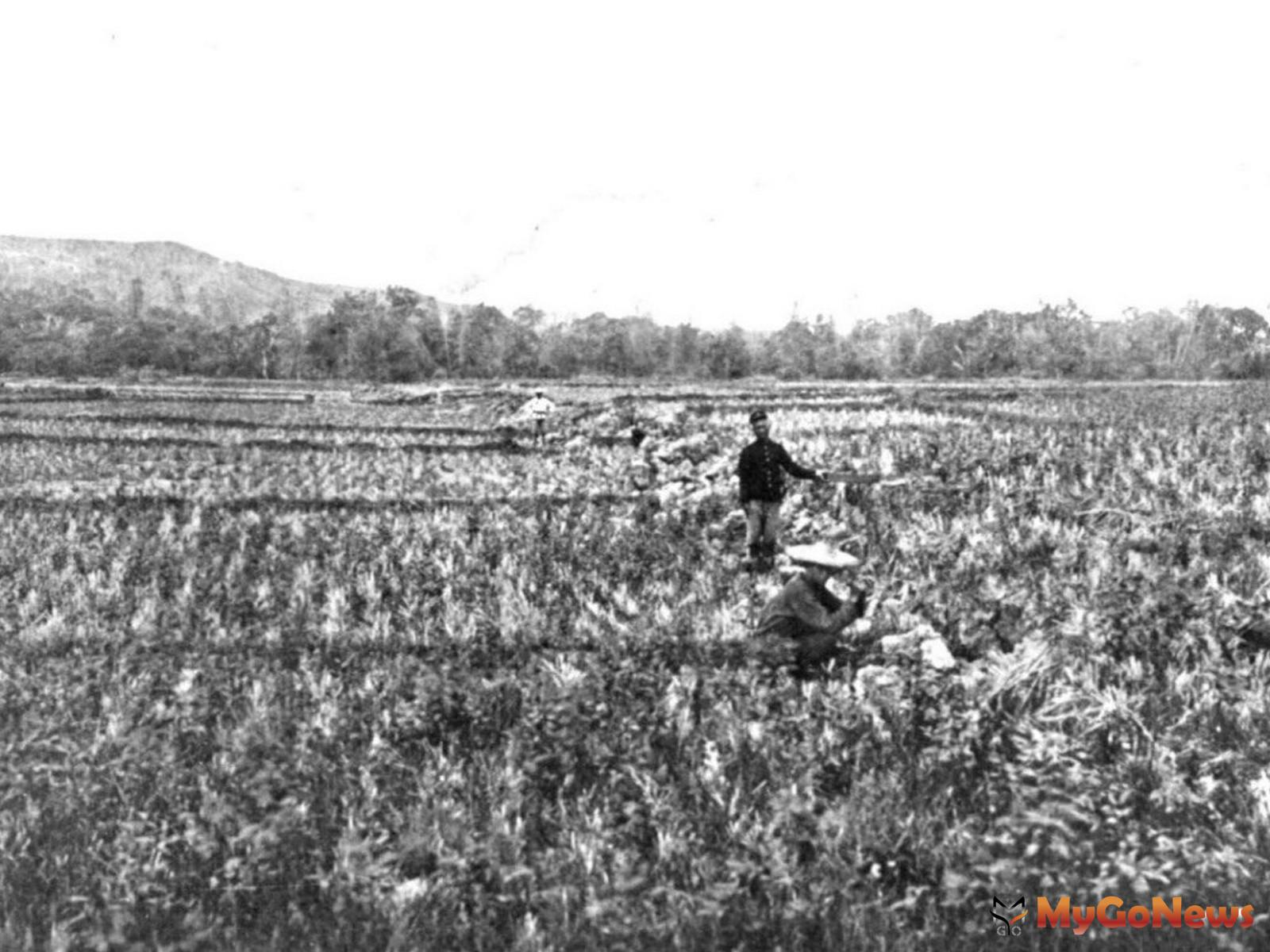 1906年梅山地震斷層通過嘉義縣梅山鄉三美莊(舊稱尾庄)附近的稻田;左側(南側)地塊相對陷落6呎(圖:經濟部中央地質調查所) MyGoNews房地產新聞 安全家居